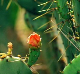 Rose-Amid-the-Thorns